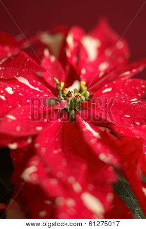Red speckled poinsettia plant