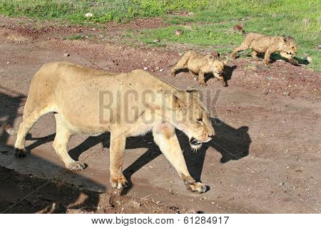 Wild African Lioness With Cubs Coming Along The Road.