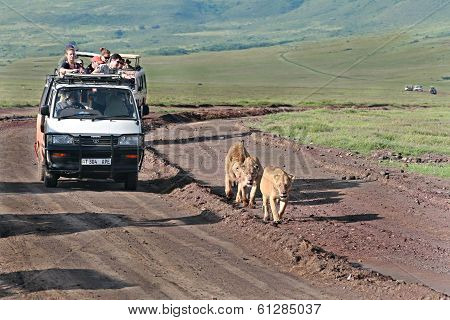 Jeep Safari In Ngorongoro, Tanzania, Tourists Accompany Family Of Lions.