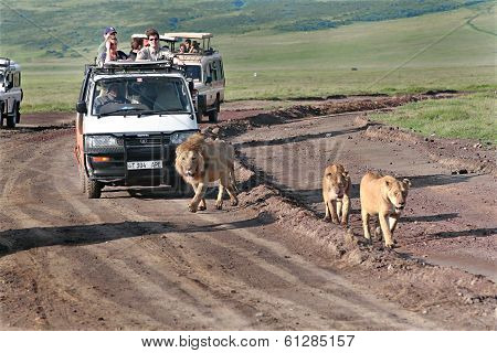 Tourists At Jeeps, Watching Savage African Lions In The Wild.