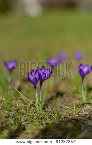Group Of Purple Crocus