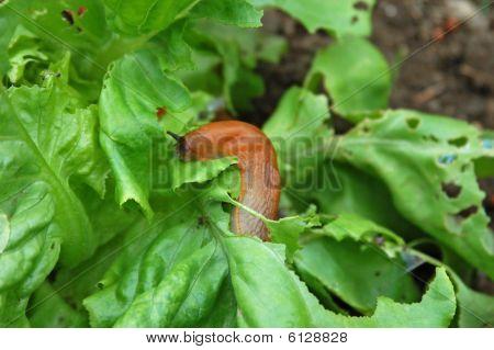 Slug destroy the garden salad