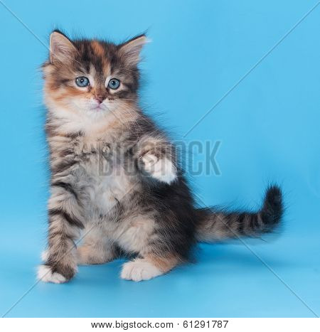 Tricolor Fluffy Kitten Sits Coquettishly Lifting Paw
