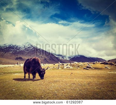 Vintage retro hipster style travel image of yak grazing in Himalayas mountains. Ladakh, India