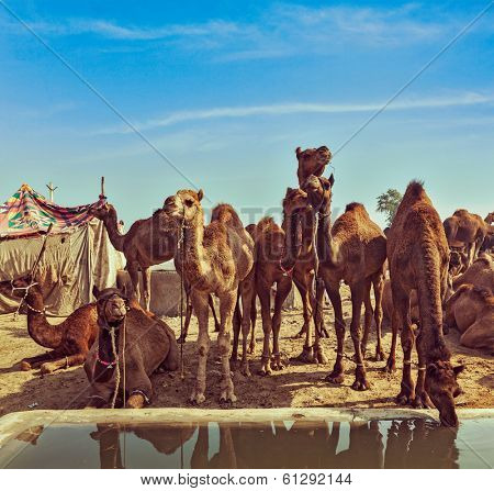 Vintage retro hipster style travel image of Camels at Pushkar Mela (Pushkar Camel Fair). Pushkar, Rajasthan, India