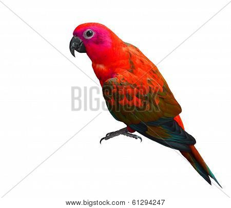 Beautiful Red Parrot Bird Isolated On White Background