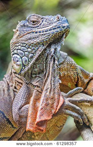 Vertical Close Up Of Lizard, Iguana, Iguana Iguana, Basking In T