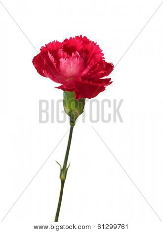 Carnation flower isolated on white background. Shallow depth of field. Focus on the center of flower