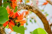 stock photo of six-petaled  - Thongkown flowers : a bouquet of flowers like red, orange, Lang length 6-15 cm long, elongating Islands are a group with five petals blooming time is the most prolific flowering in February of each year.