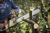 image of man chainsaw  - man without the necessary protection cuts tree with chainsaw - JPG