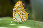 pic of malachite  - Malachite Butterfly resting on a large leaf in the forest - JPG
