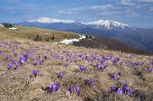stock photo of early spring  - Mountain landscape with the first spring flowers crocus - JPG