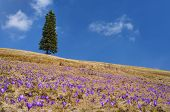 Blooming meadow. The first spring crocus flowers and lonely tree