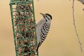 stock photo of woodpecker  - Female Ladder - JPG