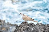 picture of nea  - Pigeon on the Volcanic Rocks nea Atlantic Ocean - JPG