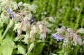 picture of borage  - Borage flowers  - JPG