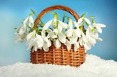 Beautiful snowdrops in basket on blue background