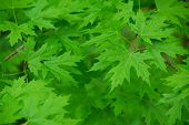foto of green leaves  - Green maple  leaves background - JPG