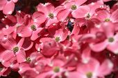 stock photo of dogwood  - Pink dogwood tree flowering - JPG