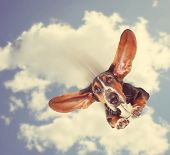 picture of basset hound  - a basset hound flying through the air with his ears like a superhero done with a retro vintage instagram filter - JPG