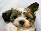 stock photo of mutts  - a closeup of a cute little mixed breed puppy - JPG