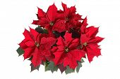 picture of poinsettias  - poinsettia plant on white - JPG