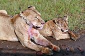 Mother Lioness And Her Lion Cub, Resting After A Meal.