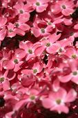 stock photo of dogwood  - dogwood tree flowers close up - JPG
