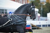 picture of carriage horse  - Portrait black friesian horse carriage driving on gallop - JPG