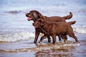 stock photo of labradors  - brown labrador retriever dogs at the sea - JPG