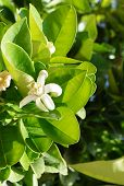 picture of florida-orange  - Orange blossom, selective focus on the flower