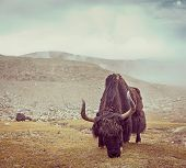 picture of yaks  - Vintage retro hipster style travel image of yak grazing in Himalayas - JPG