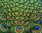 picture of feathers  - Beautiful Peacock bird feathers in great texture - JPG