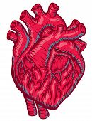 stock photo of apex  - An anatomical Red Heart for heath care - JPG