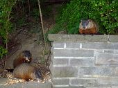 stock photo of gopher  - Three gophers  eating the seeds and nuts - JPG