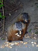 picture of gopher  - Two gophers eating the seeds and nuts - JPG