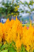 picture of celosia  - Yellow Gold celosia flower in the garden - JPG