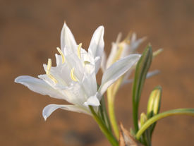 picture of sand lilies  - Wild white flower  - JPG
