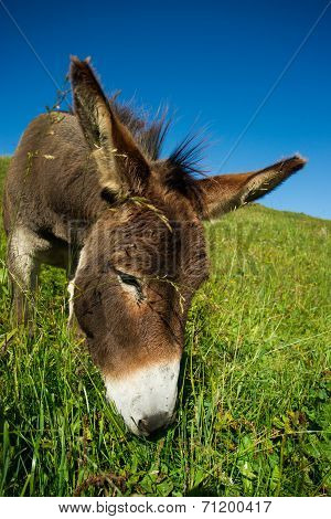 donkey on a meadow in the high mountains in summer