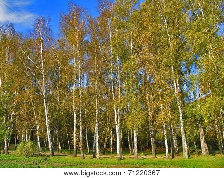 Autumn Preshpect From Side - Birch Trees On Wind, Yasnaya Polyana, Tula, Russia