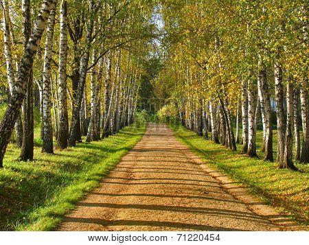 Birch Alley - Preshpect In Autumn, Yasnaya Polyana, Tula, Russia