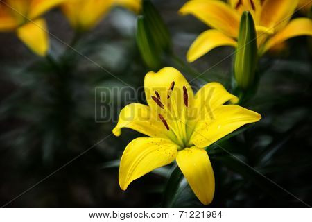 Lilium Longiflorum With Dewdrops