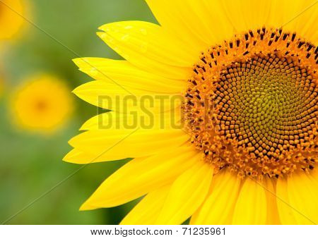 Beautiful sunflower with bright yellow with more sunflowers of background