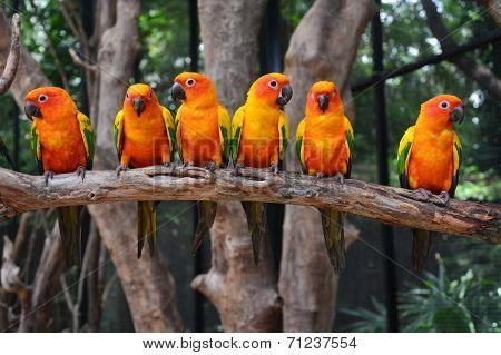 Sun Conure Parrot Bird