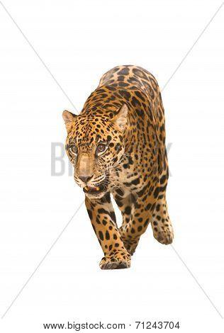 Jaguar ( Panthera Onca ) Isolated