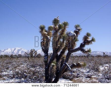 Winter In Mojave Desert Nevada