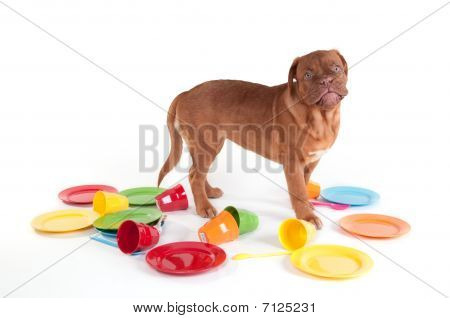 French Mastiff Playing With Plates