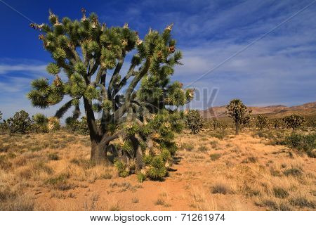 A Joshua tree (Yucca brevifolia) in Mojave National Preserve, California, USA.