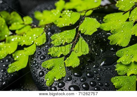 Spa Concept Of Beautiful Green Branch Of Maidenhair And Zen Stones With Drops