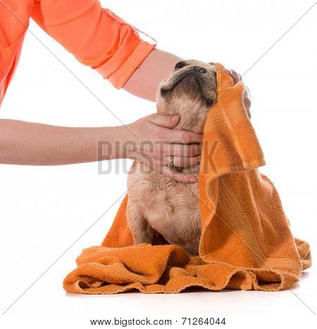 dog bath - french bulldog being dried off on white background
